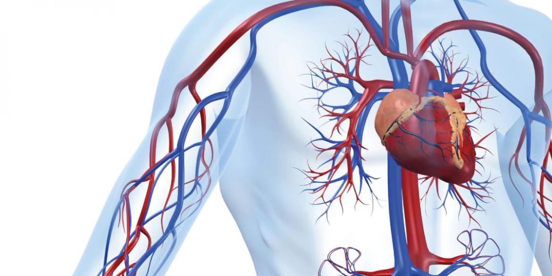 Il cuore e la circolazione